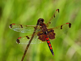 Calico Pennant | by Shannonsong