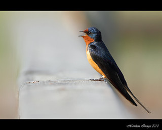 Barn Swallow (Hirundo rustica) | by Hamilton Images