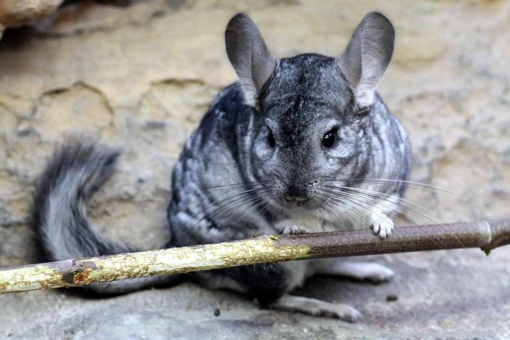 Chinchilla - Chinchilla lanigera - Long-tailed Chinchilla ...