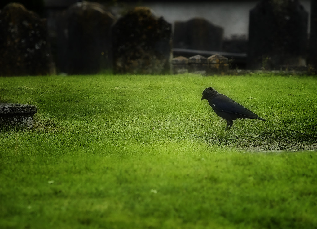 Black crows. | by Mr. Patillas