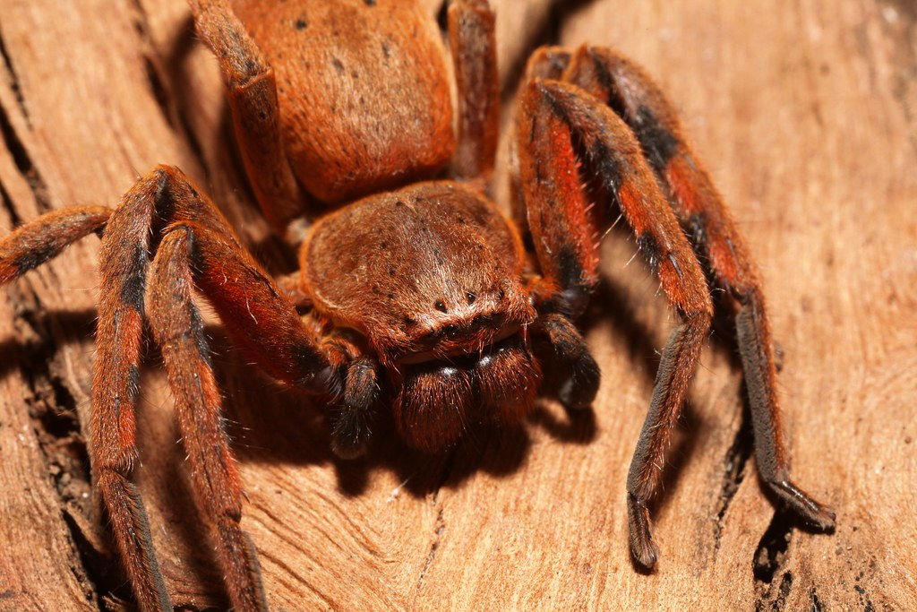 Badge Huntsman Spider (Neosparassus diana), north Foster