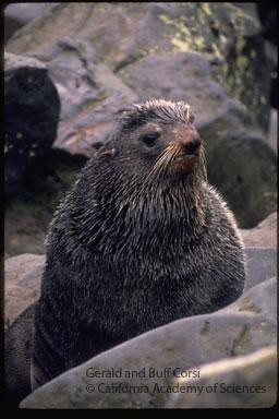 Northern Fur Seal | by CAS Librarian