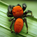 "The ""Apache Jumper "" (Phidippus apacheanus) - With Video!"