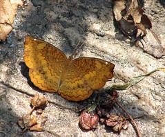 013. Castor Butterfly in my Butterfly garden taking mineral salts & water