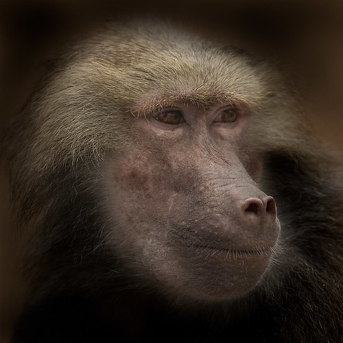 Hamadryas Baboon | by iPhotograph