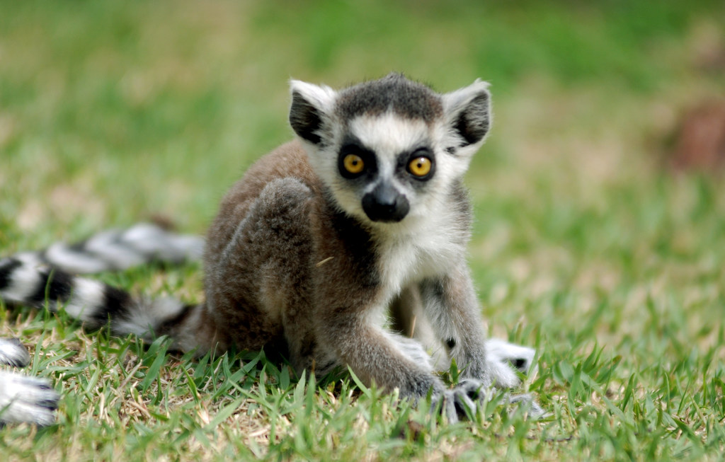 Cute ring tailed lemur