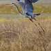 Great Blue Heron-7864-W