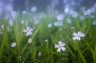 wild white flowers in the fog close up | by czdistagon.com