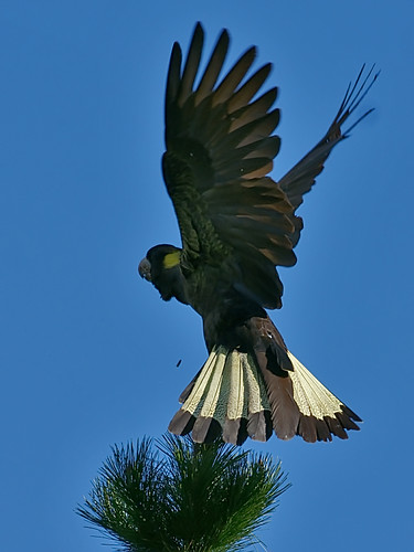 Yellow-tailed Black-Cockatoo (Calyptorhynchus funereus) | by David Cook Wildlife Photography