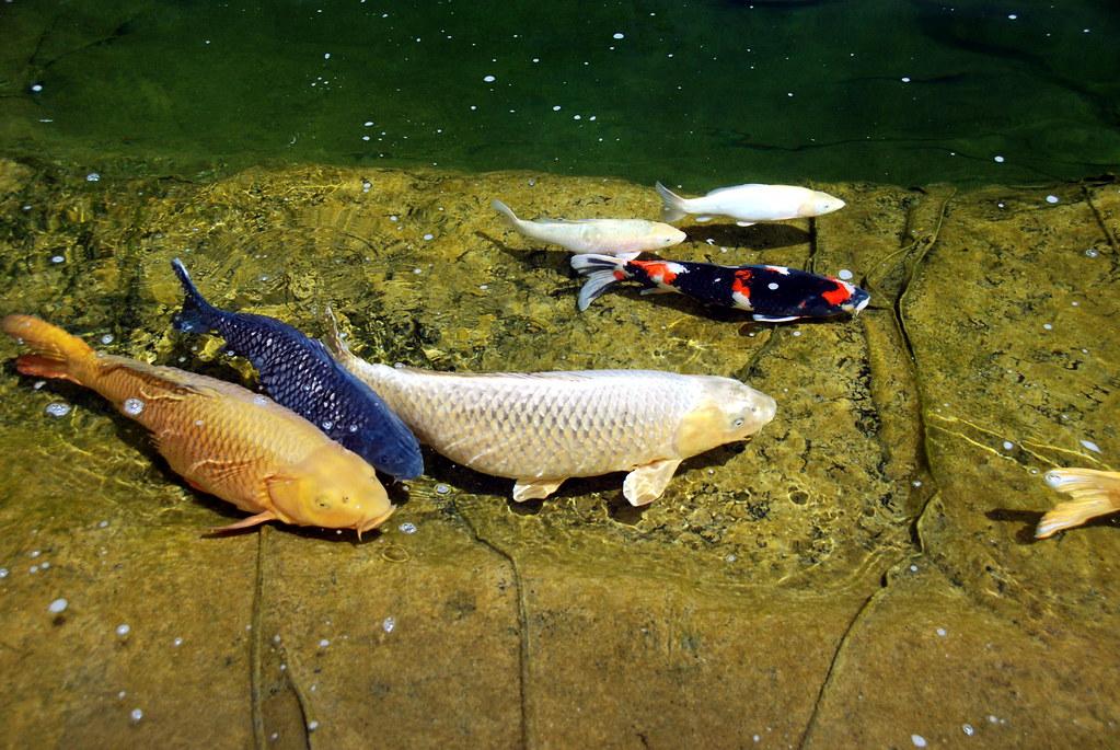 Koi fish 06 koi mike swanson flickr for Koi fish games
