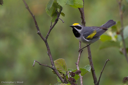 Golden-winged Warbler | by Christopher L Wood
