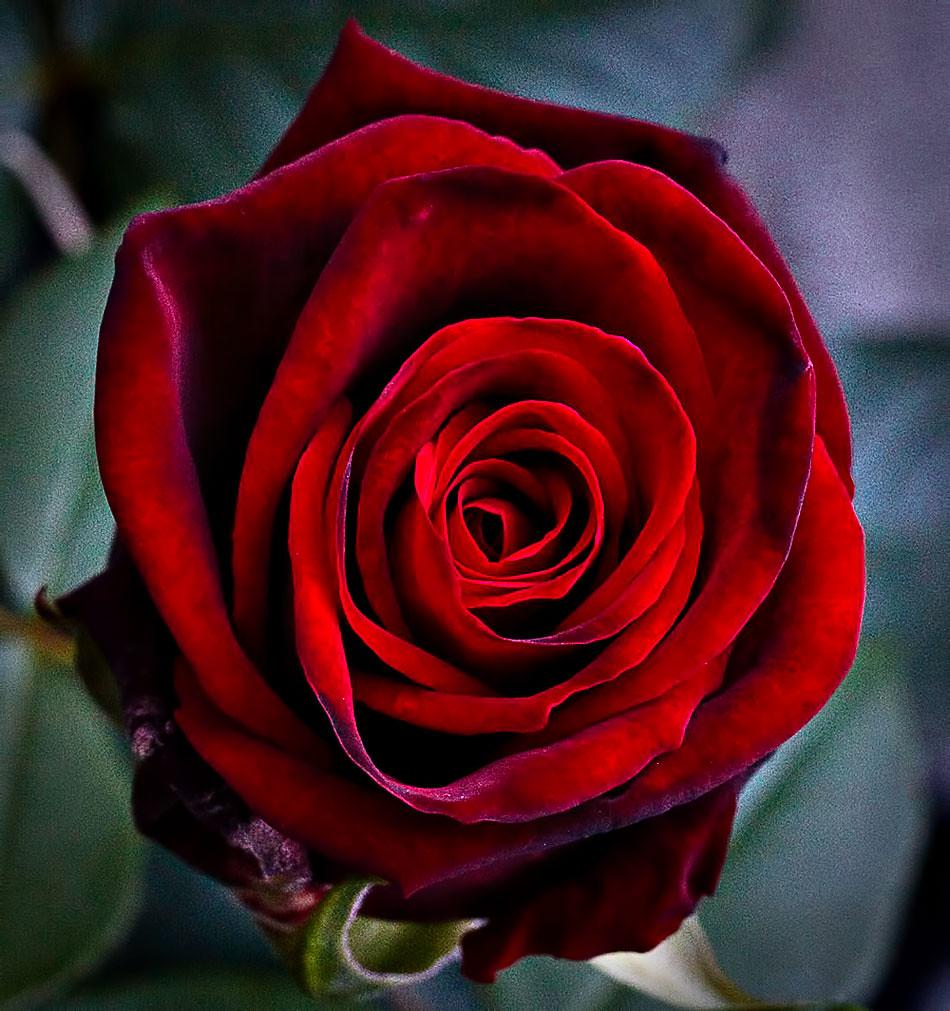 Rosa             H