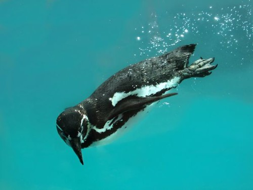 Penguin Swimming Underwater | by Adele Claire