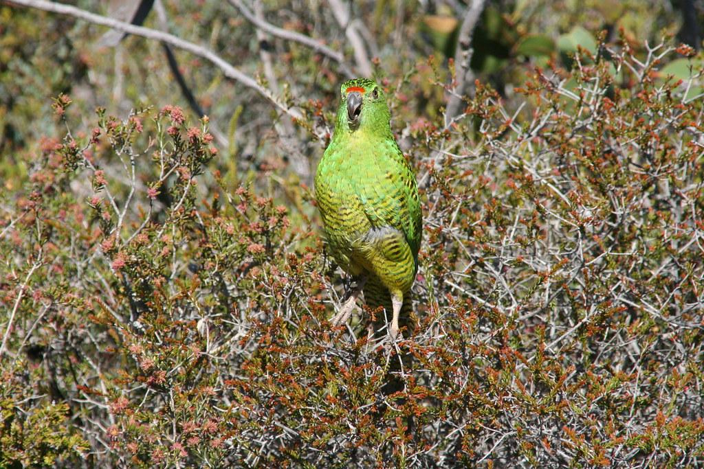 Western Ground Parrot. 圖片來源:Brent Barrett(CC BY-SA 2.0)