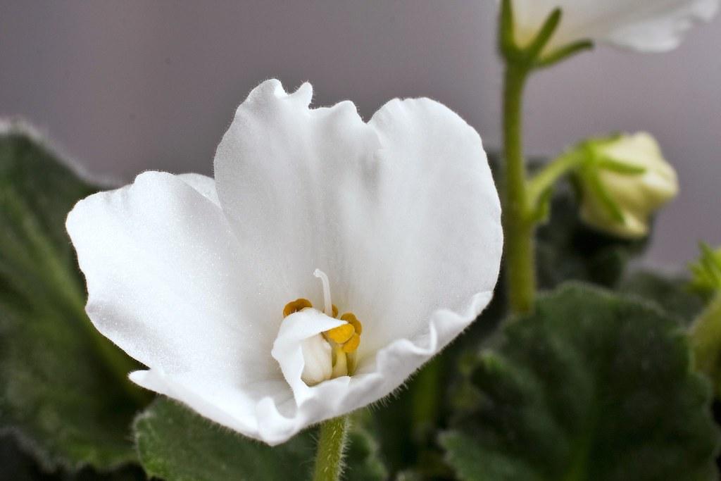macro of white african violet flower