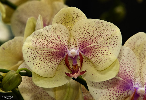 Orchid_4 30Jan10 | by PictureOnTheWall