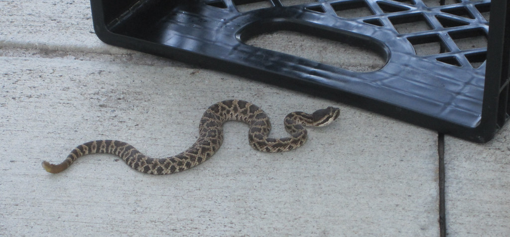 Baby Rattlesnake At Hd Supply Cropped Today There Was