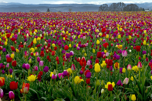 Wooden Shoes ~ run aground in a sea of tulips | by Millron