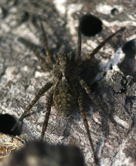 Lycosidae | Lycosidae, known as the Wolf Spider. They live ...