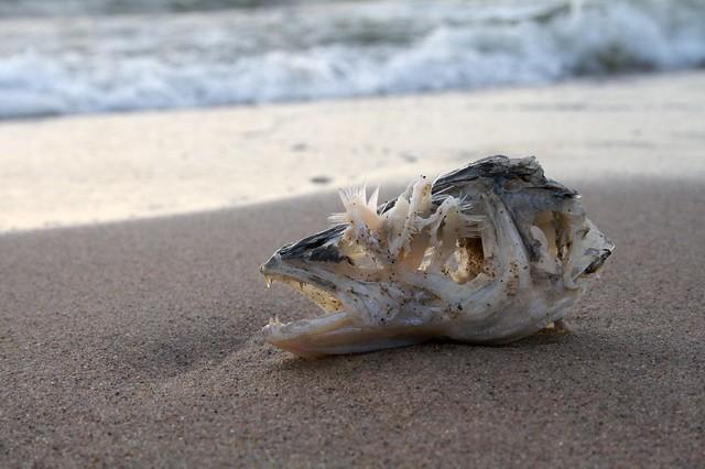 Fish head skeleton on baltic coast flickr photo sharing for Fish head app