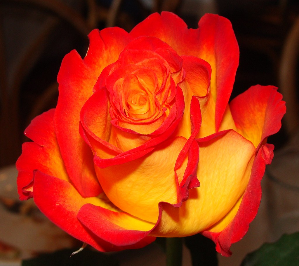 orange and yellow rose at troy 39 s greek restaurant seen in flickr. Black Bedroom Furniture Sets. Home Design Ideas