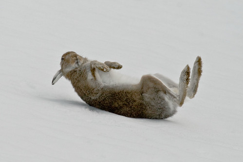Mountain Hare Rolling in Snow | by SteveG2001
