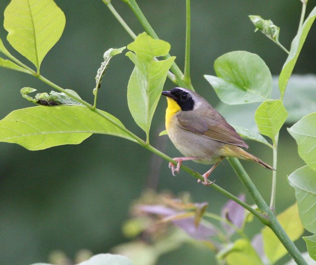 Yellow Throat Warbler 31
