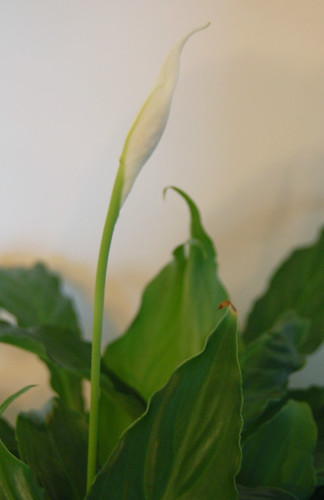 how to get cuttings from a peace lilly