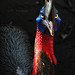Bali Zoo - Two wattled Cassowary