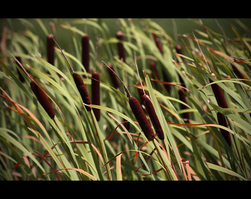cattails | by bunnyfrogs