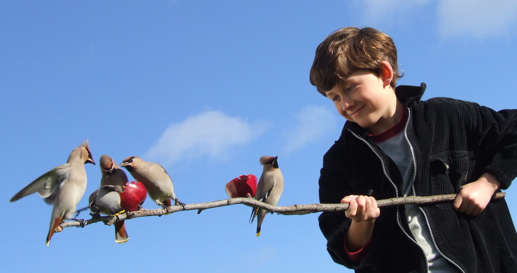 Bohemian Waxwings - Bird - Fair Isle - Shetland - Apple - … | Flickr