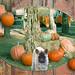 Puppy in the Pumpkin Patch