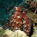 Red Sea Octopus