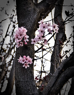 50/365 - Blossoming | by catheroo (cat edens)