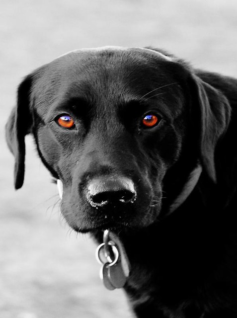 Can Dogs Pop A Blood Vessel In Their Eye