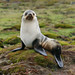 Antarctic Fur Seal Arctocephalus gazella
