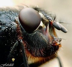 BARBA ROJA  - MOSCA CLOSE UP - FLY | by Fardels.