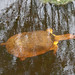 softshell, florida, john picken