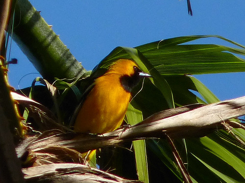 Hooded Oriole | by Bob Gunderson