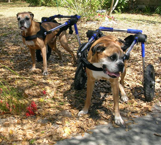 Dogs In Wheelchairs Rescue