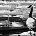 Canadian Goose N2171e