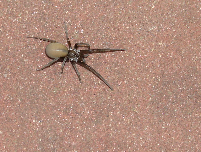 southern house spider vs brown recluse 28 images