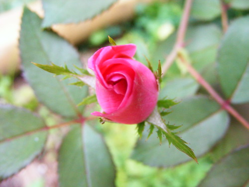 262. A rose bloom | by countrygirl0