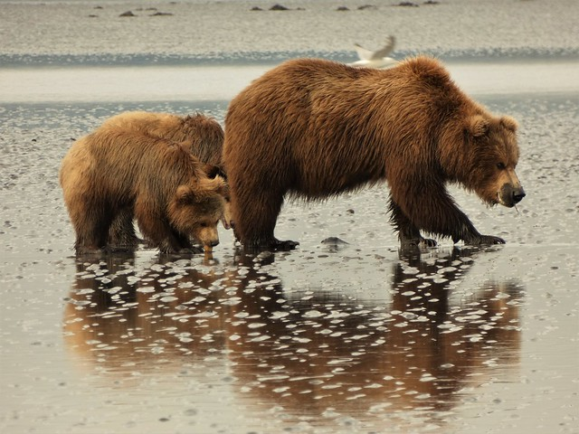 Osos en Lake Clark (Alaska)