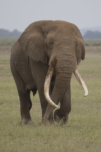 Amboseli_Elephant Coming my Way_8Z5T7433 | by JFlewellen