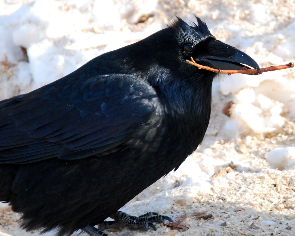 how to tell male and female crows