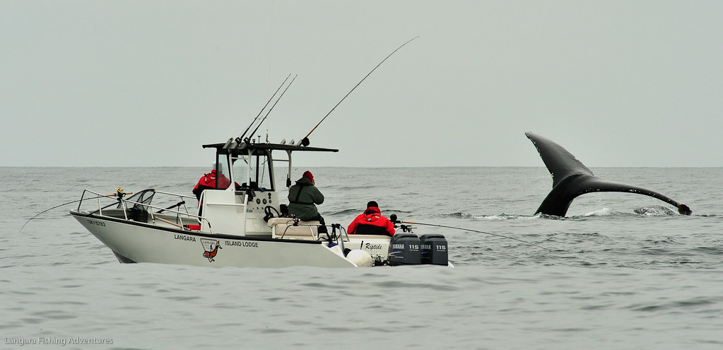 Humpback whale at langara island lodge photo courtesy of for Langara fishing lodge