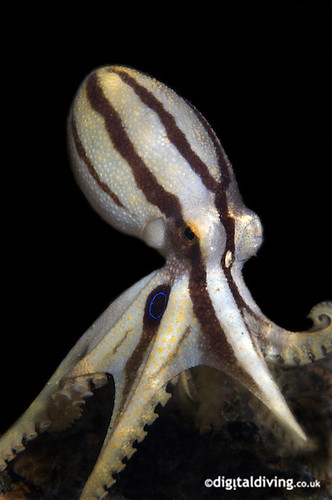 Opus (Octopus mototi) | by Digidiverdave