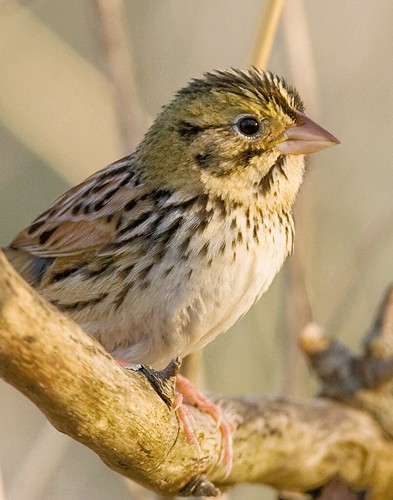 fluffy henslow's sparrow | by Profiles of Nature