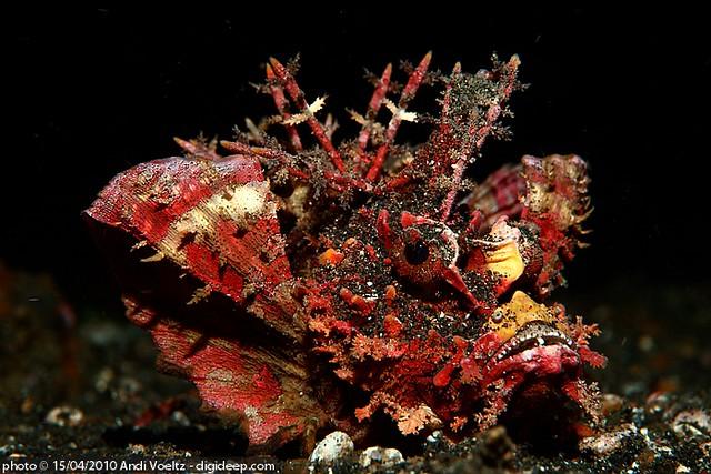 Spiny devilfish walkman skorpionfish lembeh spiny for Red devil fish for sale